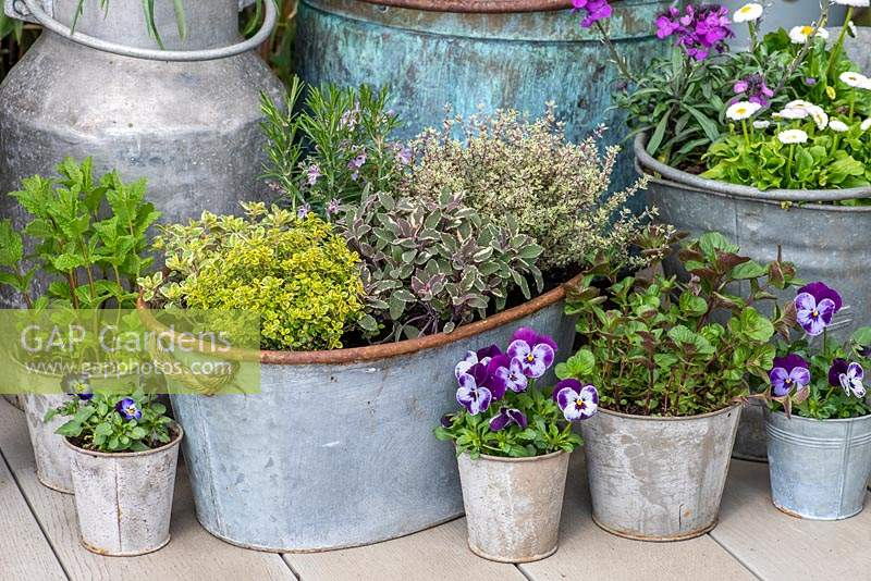 Herb planter with Oregano 'Country Cream', Thyme 'Lemon Variegated', Sage 'Tricolour', Thyme 'Silver Queen' and central Rosemary. Edged in pots of mint, Violas and daisies.