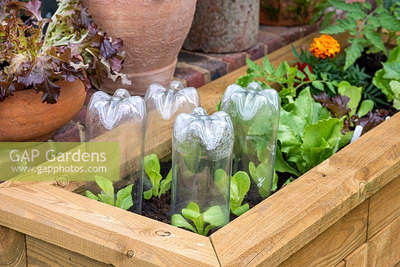 Newly planted out Lettuce 'Little Gem' seedlings, protected from overnight chill with improvised cloches made from plastic 2-litre soft drink bottles.
