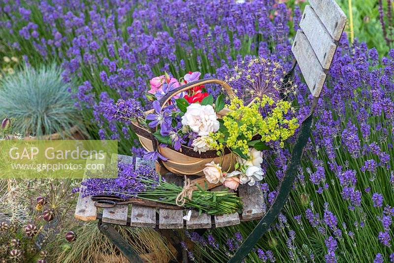 A trug of cut flowers and bunches of lavender rest on an old slatted chair placed beside a hedge of Lavandula angustifolia 'Hidcote'