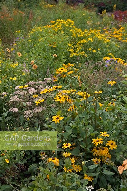 View over flower bed with yellow daisy plants