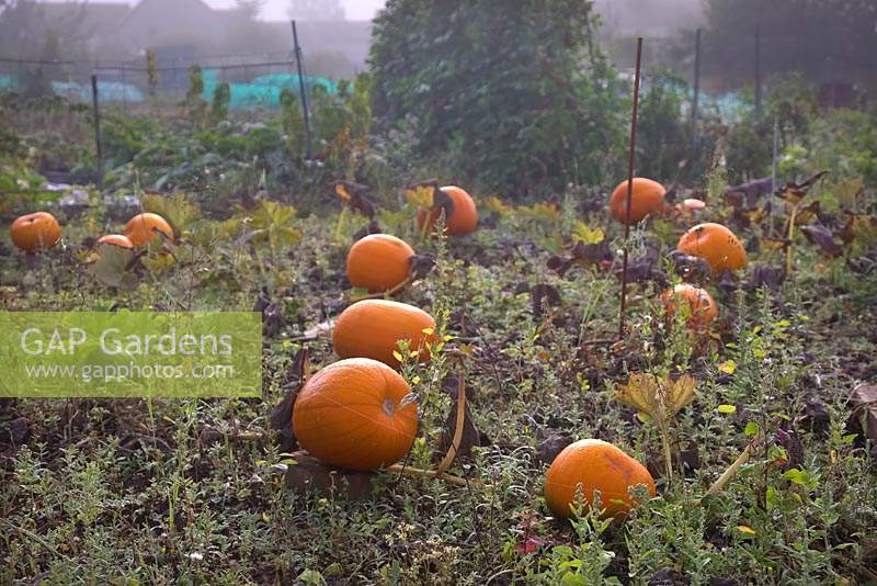 Cucurbita maxima - Pumpkin - fruit on ground in early morning light on the allotment