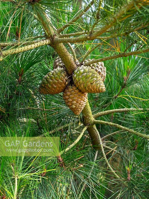 Pinus Radiata - Monterey Pine cones on the tree