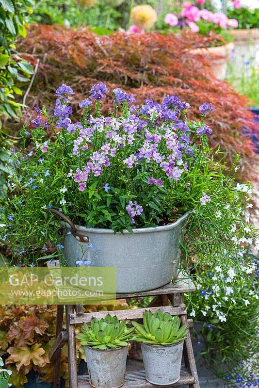 Sitting on old wooden step ladder, an aluminium preserving pan planted with Nemesia 'Mirabelle', with pots of succulents displayed below.