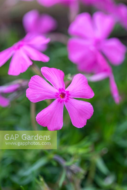 Phlox subulata 'McDaniel's Cushion',  a compact evergreen bearing masses of pink flowers