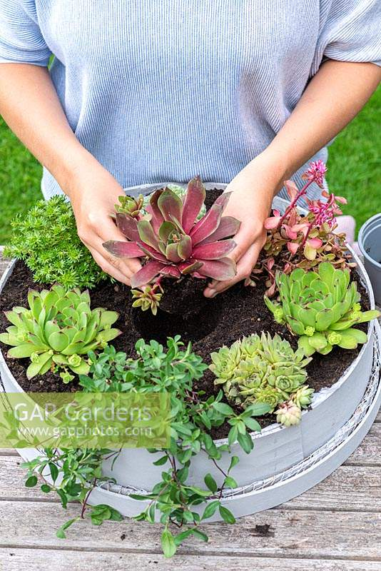 Woman adding last plant in centre of succulent container.  Planting Succulent Sieve. Step 9.