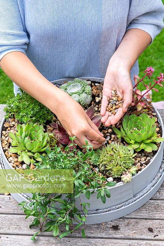 Woman placing gravel on the soil around newly planted succulents, to keep their leaves from contact with the soil. Planting Succulent Sieve. Step 10: