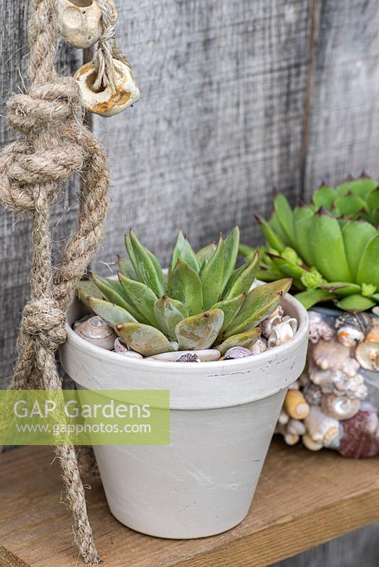 A small pot planted with an Echeveria succulent.