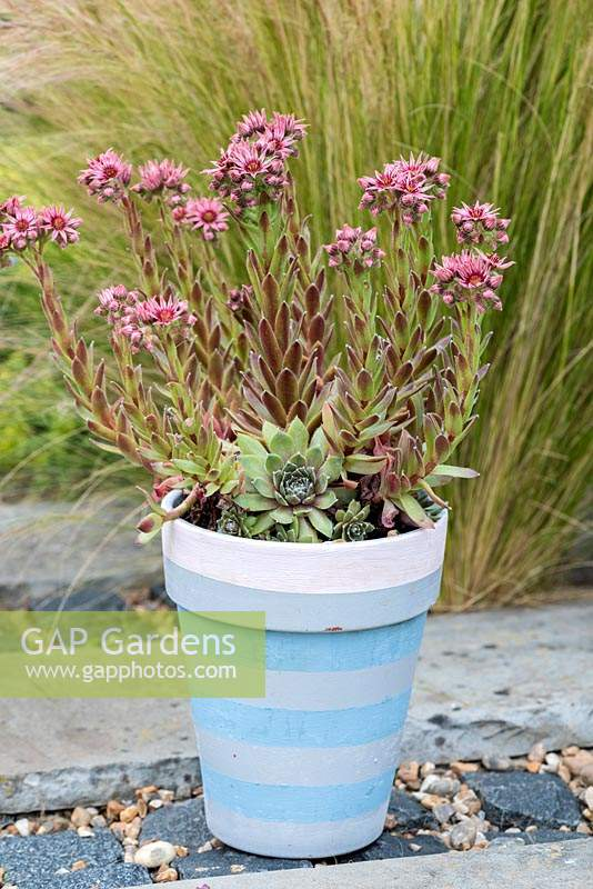 Sempervivum newly launched in 2020, yet to be named in a hand painted pot