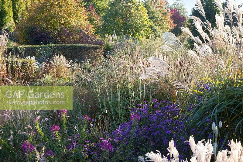 Mixed autumn borders with grasses Pennisetum, Miscanthus sinensis, Sanguisorba, Aster and Cleome
