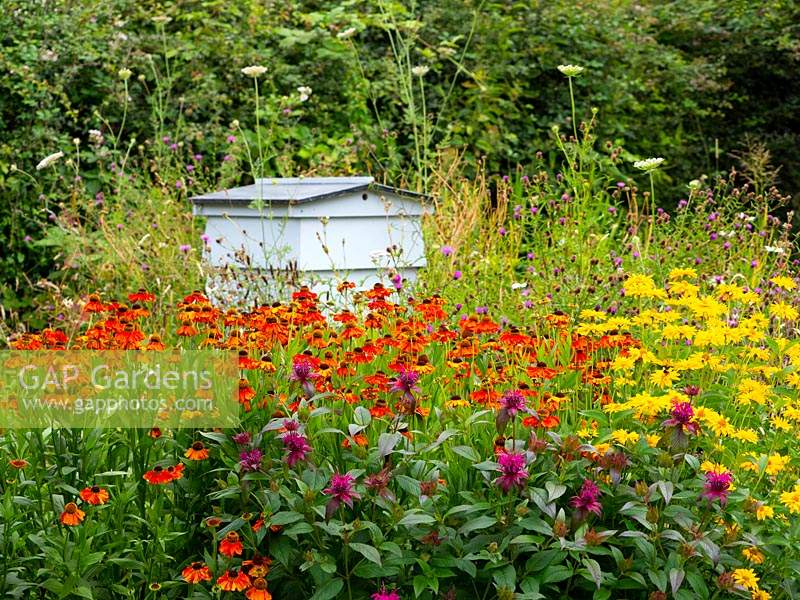 Bee Hive in nectar rich wildflower area with Helenium 'Sahin's Early Flowerer', Heliopsis helianthoides 'False Sunflower' and Monarda didyma 'bergamot'