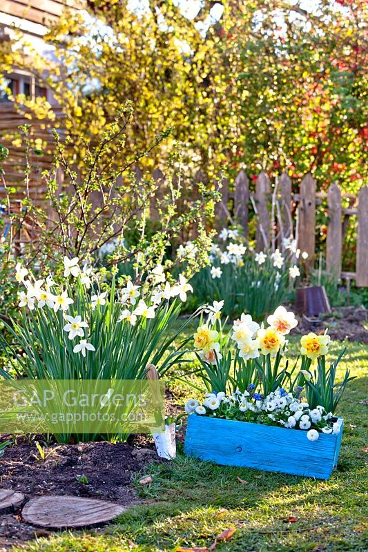 Wooden box with daffodils and bellis ready for planting out in garden.