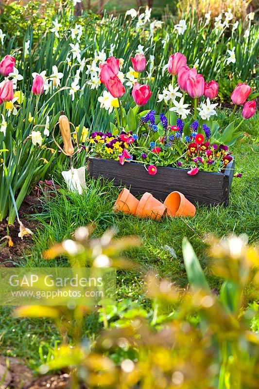 Trug with tulips, bellis, daffodils, muscari and pansies in spring garden ready for planting in border.