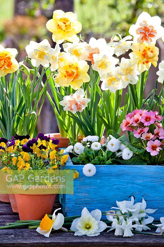 Daffodils, primroses, bellis and pansies in containers.