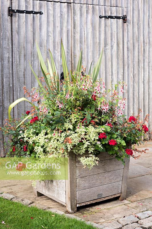 Large wooden container planted with Pelargoniums, Fuchsias, Cuphea and Phormium.