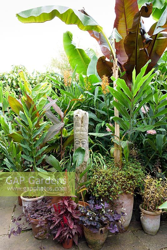 Large foliage plants including Musa basjoo, Ensete ventricosum 'Maurelii and trachycarpus mixed with exotic flowering plants such as Hedychium 'Tara', variegated H. 'Dr Moy' and pots of purple leaved foliage plants