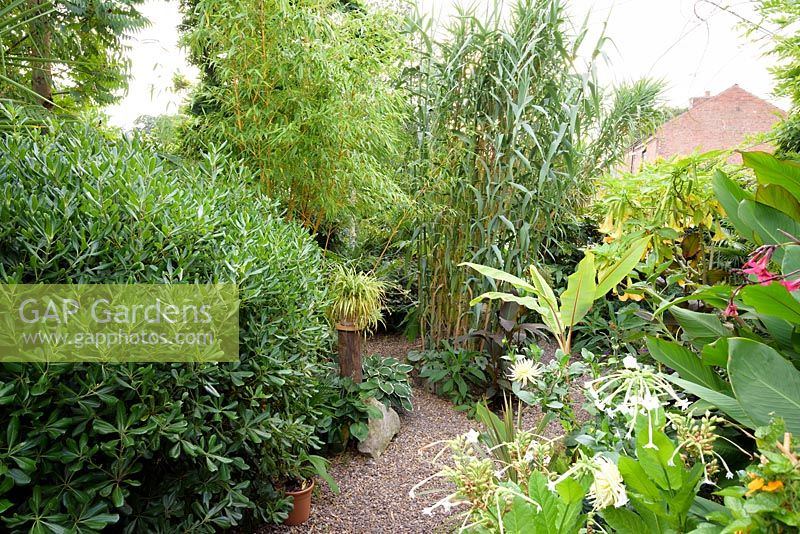 Towering foliage of Arundo donax, bamboos, cannas and brugmansias with flowering plants including Nicotiana sylvestris, dahlias and climbing Thunbergia alata
