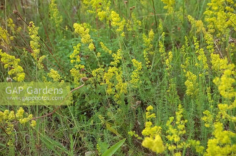Galium verum - Lady's Bedstraw growing on an exposed and sunny road bank, UK