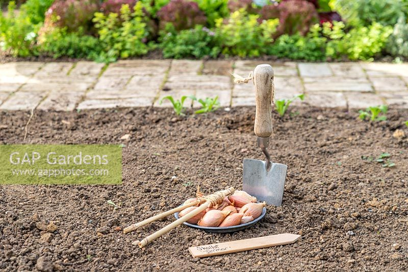 Tools and Shallot 'Jermor' sets ready for planting in the ground