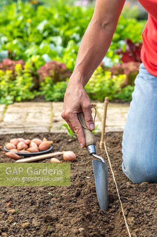 Using a metal trowel to create a channel for planting a row of Shallot sets in the ground