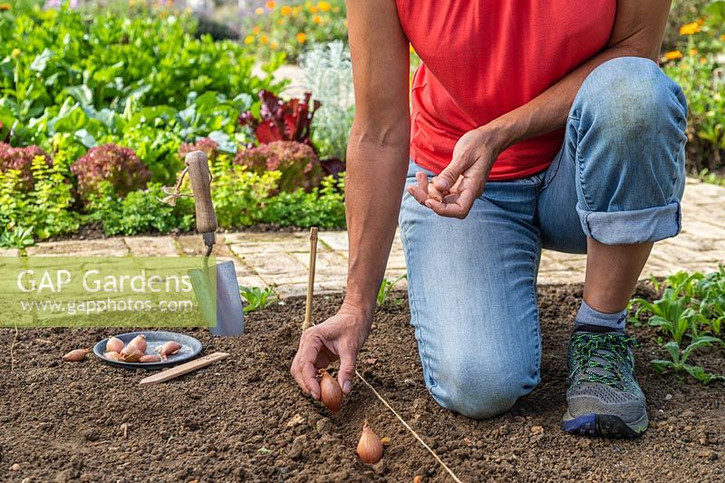 Woman planting Shallot sets into channel in a prepared bed