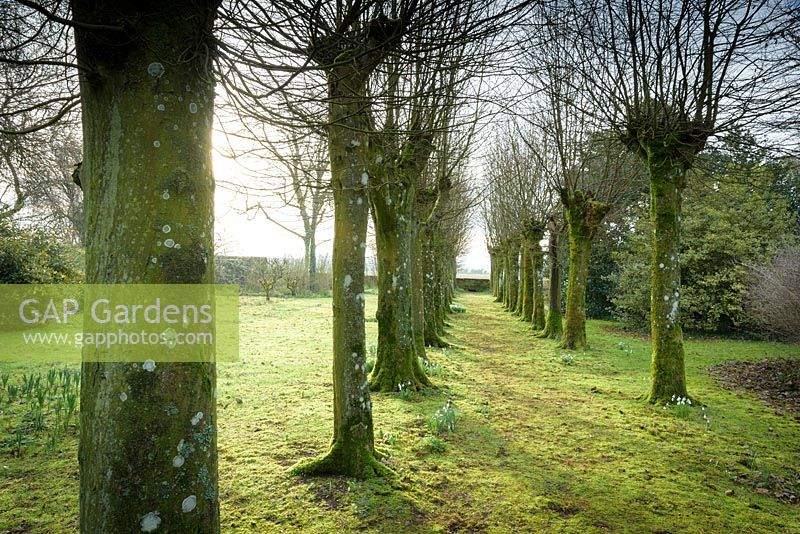 Hornbeam avenue underplanted with snowdrops at Rodmarton Manor, Glos, UK.