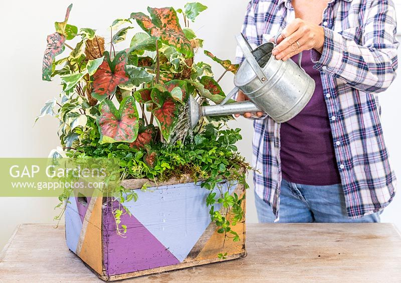 Woman using small galvanised metal watering can to water house plants in decorated wooden planter