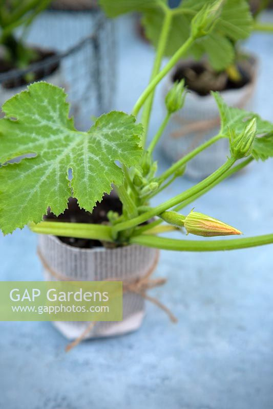 Young plant of courgette 'Astia F1' grown in a paper pot