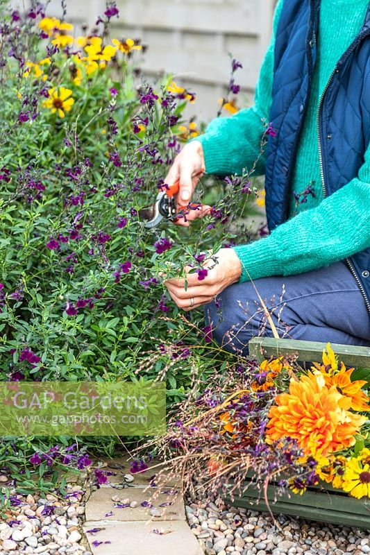 Woman using secateurs to cut Salvia flowers.