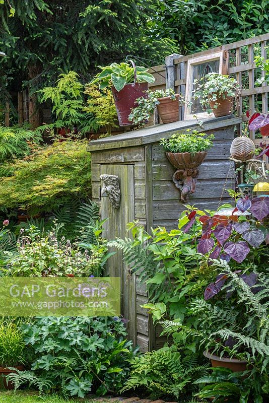 A small wooden shed is tucked away amidst ferns, hostas, tiarellas, hardy geranium 'Johnson's Blue', a maple and redbud 'Forest Pansy'.