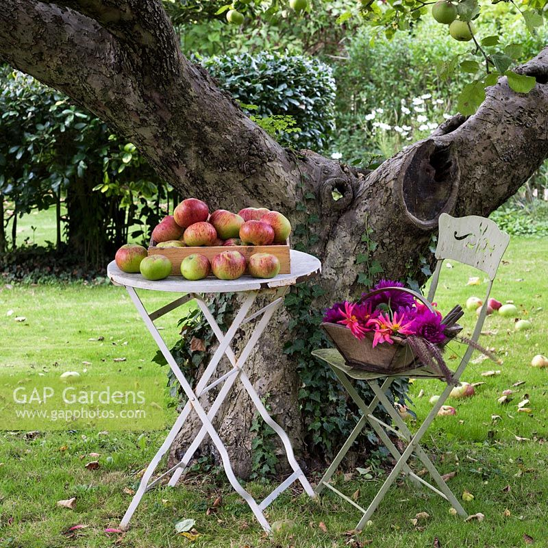 An old cooking apple tree is very productive. Trug of cut dahlias.