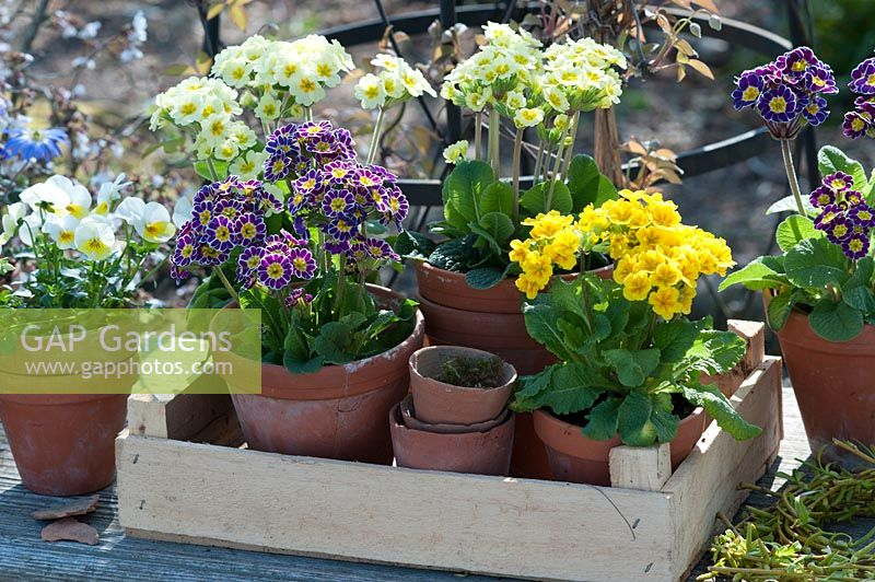 Pots with primroses and horned violets