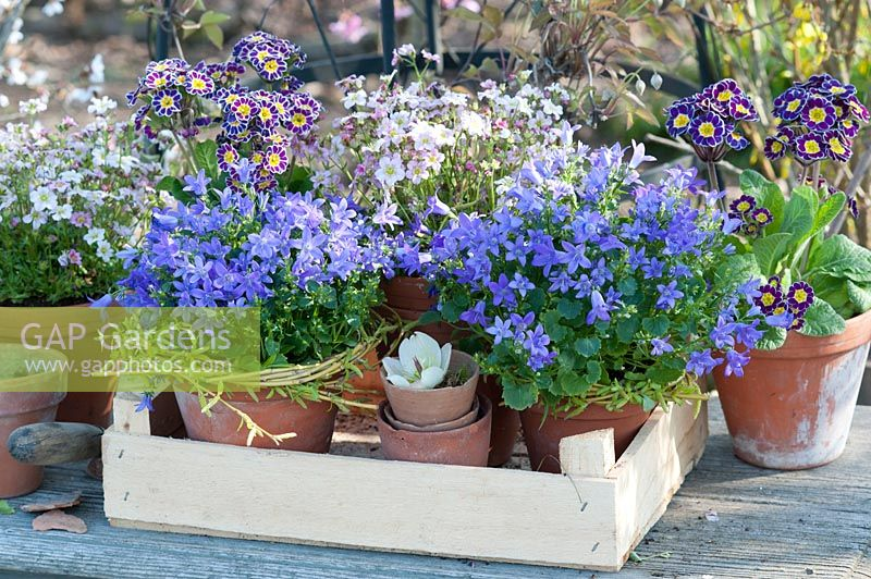Pots of bluebells, moss saxifrage and tall primroses 'Silver Lace'