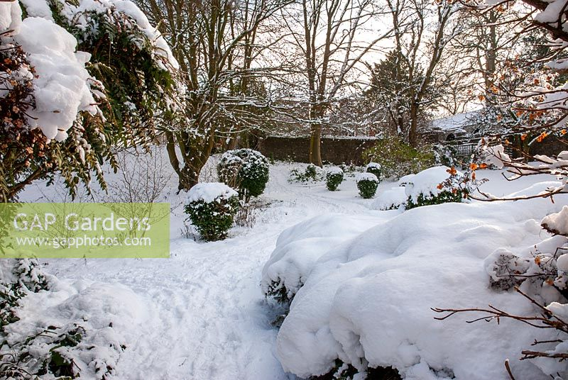 Path leading between snow covered Mahonia and clipped Box balls