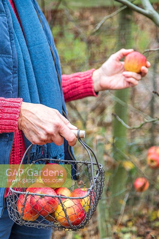 Woman picking gala apples of tree in Autumn