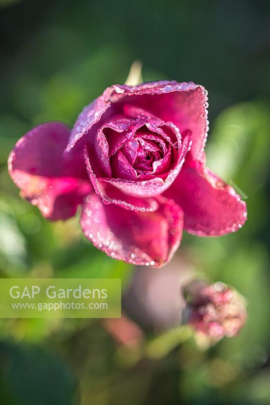 Rosa 'Burgundy Ice' - Rose - with frost