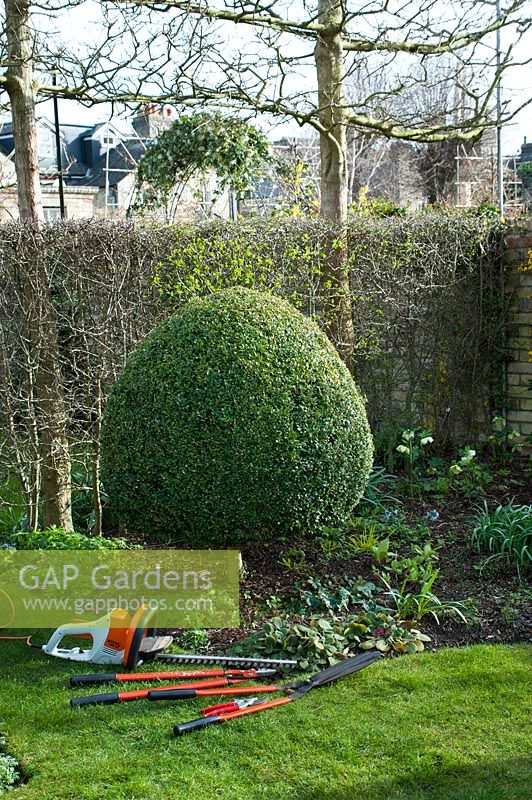 Tools laid out ready to reshape overgrown Buxus sempervirens - Box - topiary