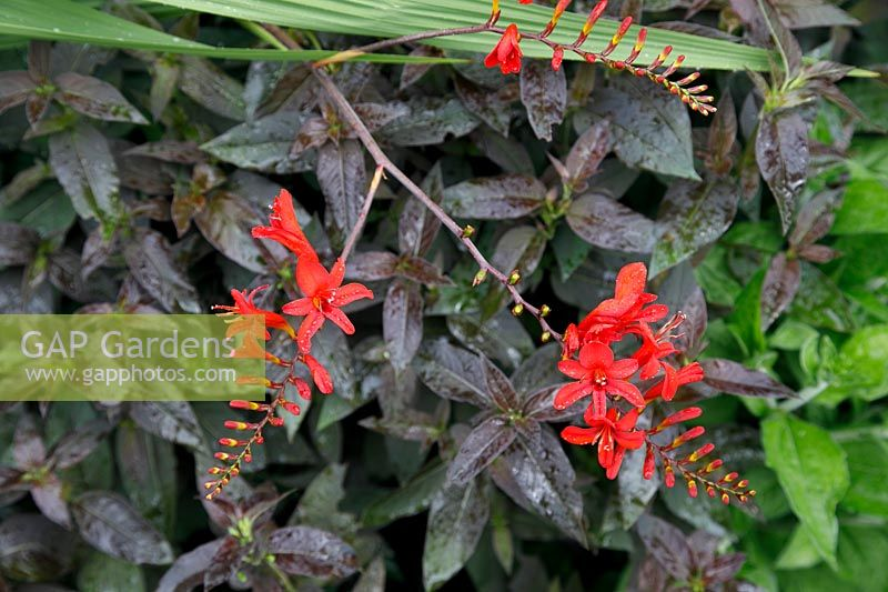 Crocosmia 'Lucifer' flowers with foil of purple foliage behind