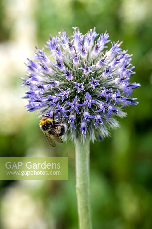 Echinops 'Nivalis' with bee
