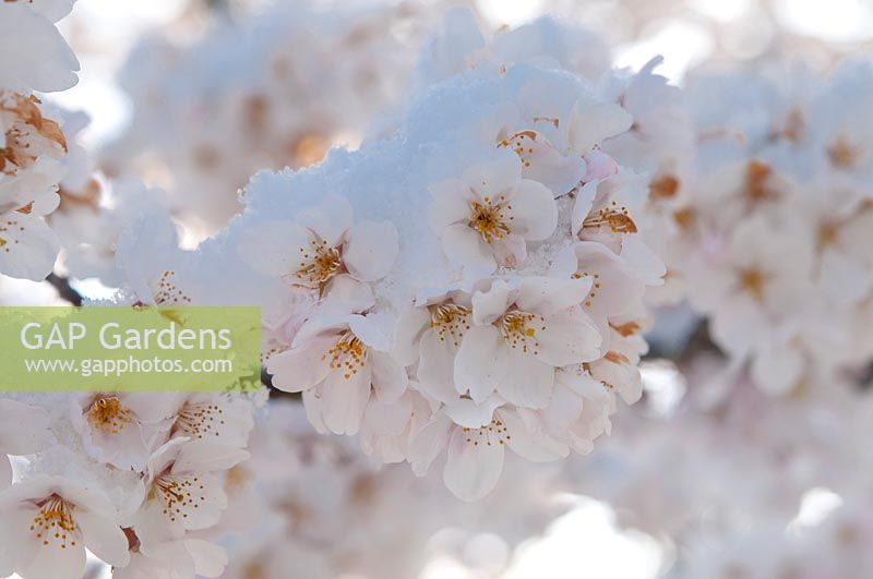 Prunus x yedoensis - Yoshino cherry covered with snow closeup.