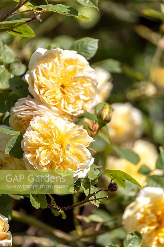Rosa 'Goldfinch' - Rambler Rose