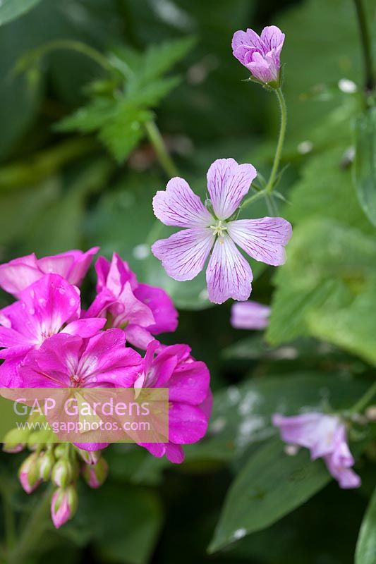 Hardy Geranium and Pelargonium flowers