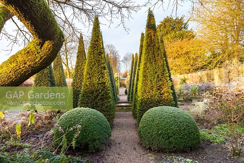 Clipped yew pyramids 'Taxus baccata' in The Well Garden on a frosty December morning. Other planting includes: clipped box balls 'Buxus', Hydrangeas and Cordylines