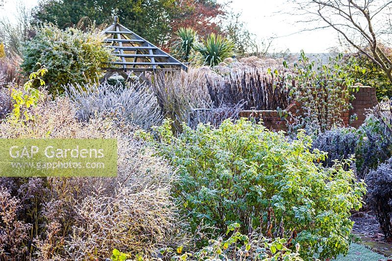 Frosted seedheads in the herbaceous borders of The Sundial Garden at Wollerton Old Hall Garden, Shropshire - Salvia microphylla and Rosa 'Sceptre d'Isle'