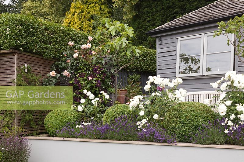 Rosa 'Iceberg', Rosa 'Agatha Christie' and Lavandula 'Hidcote' in raised beds with Clematis 'Romantika' and grey summerhouse behind