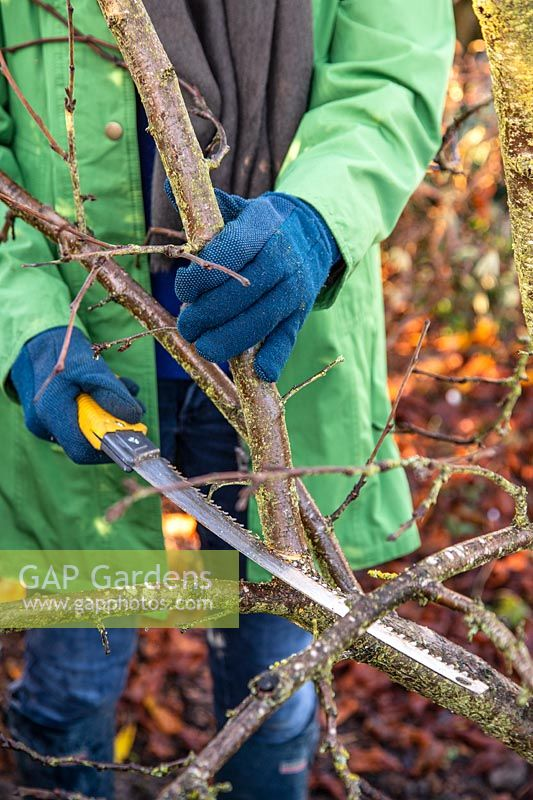 Woman using a large pruning saw to prune a Plum 'Victoria' Tree in Winter