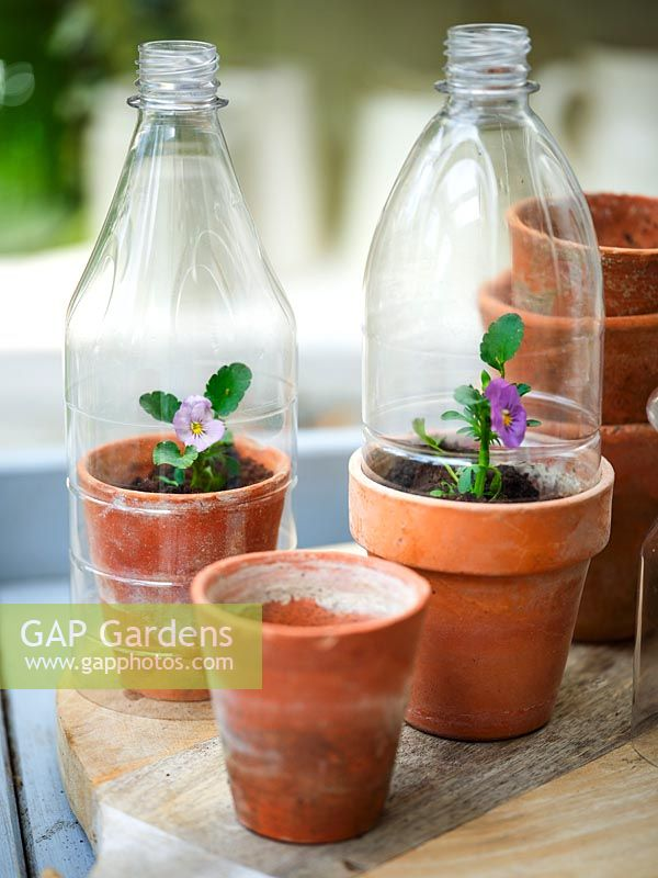 Plastic bottles used as cloches over Viola in vintage terracotta pots