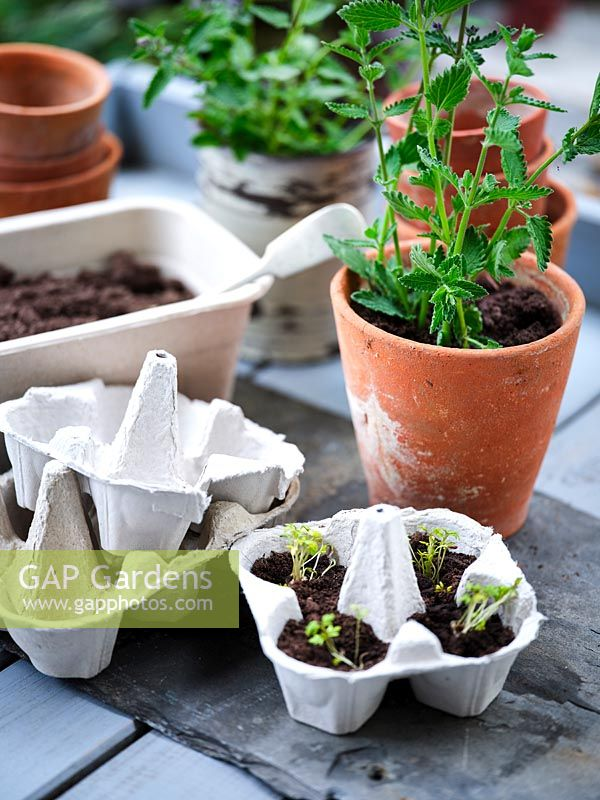 Cress seedlings grown in cardboard egg box