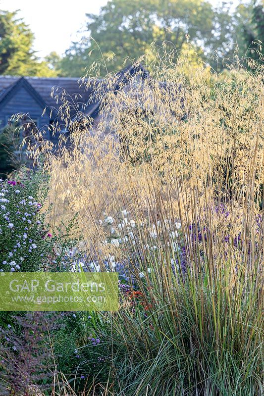 Stipa gigantea - Giant Oat Grass