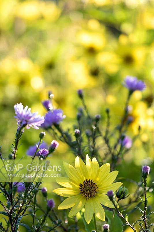 Helianthus 'Lemon Queen' - Sunflower - and Aster