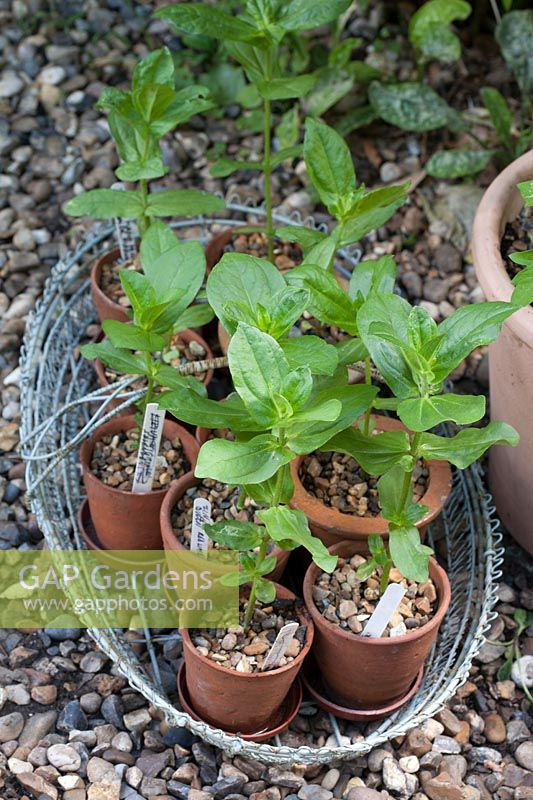 Young seedlings hardening off, Zinnia 'Queen Red Lime' and 'Purple Prince'
